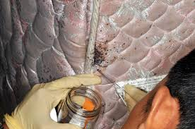 I Found A Bed Bug Now What Bed Bugs Informational Guide To Bed Bugs Purdue Monitoring