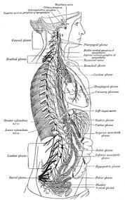 Anatomy The Human Body Ix Neurology 7 The Sympathetic Nerves Gray Henry 1918