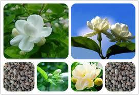 Fragrant Potted Plants - 10 pcs bag white jasmine seeds jasmine flower seeds fragrant