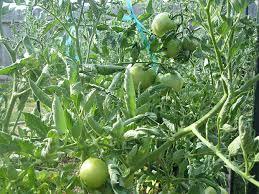 bartlett s boost applied to a vegetable garden