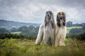 afghan hound kennel in australia kennel club u0027s dog photographer of the year awards u2013 21 adorable