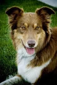 australian shepherd and border collie mix what my dog looks like brian u0027s board pinterest dog