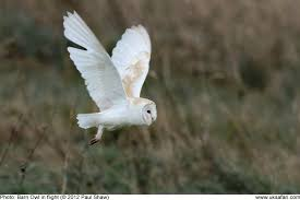Barn Owls In Broad Daylight Uk Safari