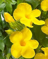 buy a container plant now mandevilla u0027yellow u0027 bakker com
