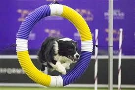 australian shepherd kennel club australian shepherd wins agility at westminster