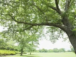 photo grassland lush tree and clear sky big lush tree in