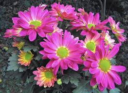 tips keeping hardy fall mums alive spring