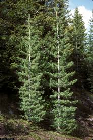 white pine tree genetic conservation five needle pines usda forest service