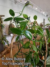 vanilla orchid vanilla planifolia vanilla fragrans madagascar bourbon vanilla