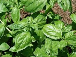basilico in vaso malattie coltivazione basilico ortaggi come coltivare basilico
