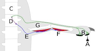 Describe A Reflex Action Reflex Arc Wikipedia