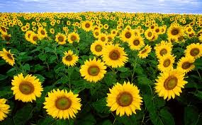 sunflower pictures sunflower field images pixabay free pictures