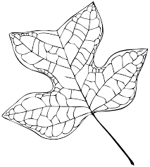 file tulip tree leaf vector svg wikimedia commons