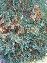 evergreen trees leaves turning brown ask an expert