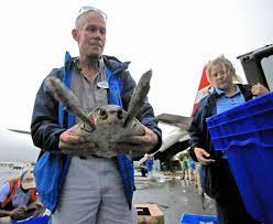 nearly 200 kemp u0027s ridley sea turtles rescued in cape cod bay