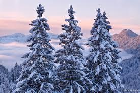 three snowy trees san martino italy mountain photography by