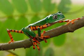 5 facts about tiger leg monkey frogs hayden s