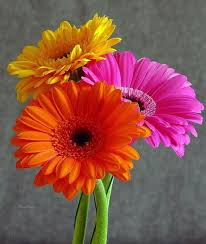 gerbera daisies colorful gerber daisies flowers flower