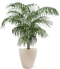Large Indoor Plants Butterfly Potted Palm The Beach Is Calling Pinterest Palm
