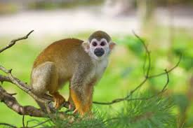 stunning facts about squirrel monkeys primates with large brains