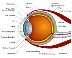 Eye Anatomy And Physiology Eye Anatomy Diagram Infographics Pinterest Eye Anatomy