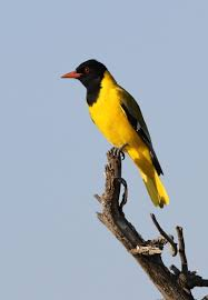 list of birds of south africa wikipedia