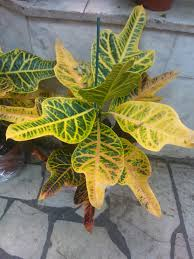 Tropical House Plants Names - croton plant care tips growing planting cutting pruning