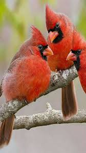 best 25 cardinal pictures ideas on pinterest