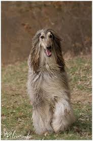 afghan hound puppies ohio price afghan hound puppies afghan hounds in front of white