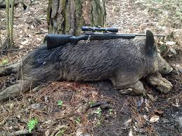 change to feral hog regulations aids control efforts outdoor alabama