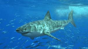 great white shark numbers on the rise in north atlantic