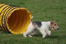 Backyard Agility Course Canine Sports How To Build A Backyard Agility Course