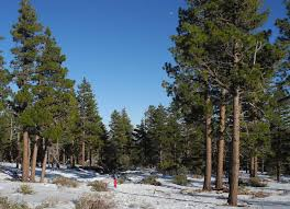 Cutting Christmas Tree - cut your own christmas tree in the reno tahoe region