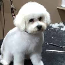 bichon frise grooming guide dog groomers 45 years experience paws n pearls