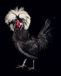 how to raise chickens for farm fresh eggs modern farmer