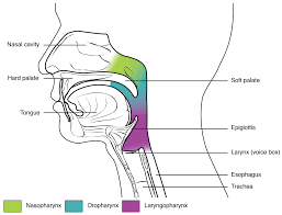 Basic Anatomy Of The Ear 22 1 Organs And Structures Of The Respiratory System Anatomy And