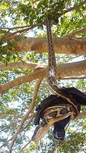 snake and bat fight to the on a tree in brisbane daily