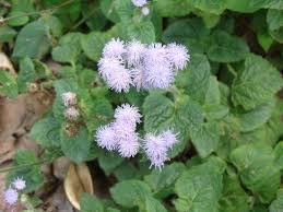 Names And Images Of Flowers - ageratum conyzoides wikipedia