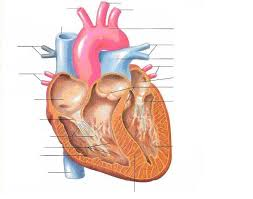 Human Anatomy Quizes Label The Heart