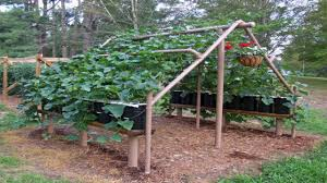 patio structures ideas growing cucumbers on a trellis pvc