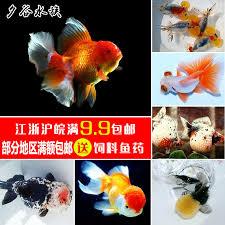 usd 1 94 goldfish live ornamental fish brocade carp cold water