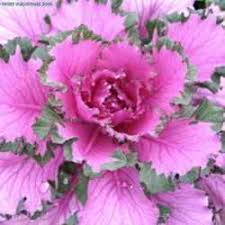 adding fall color with ornamental kale dave s garden