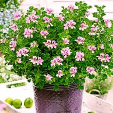 Best Fragrant Indoor Plants - aromatic plants buy 6000 nursery plants n seeds online