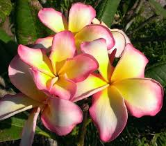 plumeria flowers plumerias plant care and collection of varieties garden org
