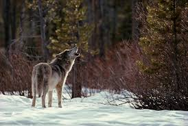 wolf lone wolf howl living with wolves