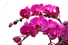 precious flower butterfly orchid in opening stock
