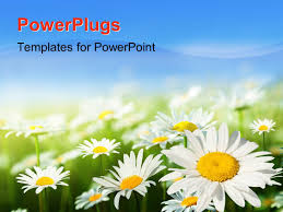 powerpoint template purple osteospermum african daisy flowers
