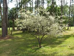 chickasaw plum prunus angustifolia florida shrub small