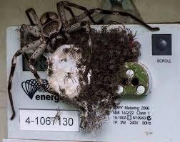 bureau d immigration australie au maroc photo cette énorme araignée australienne avec ses petits risque