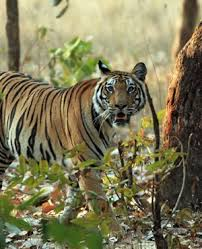 rumble in the jungle fights bengal tiger